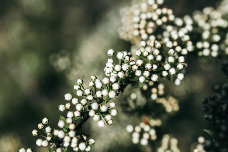 Plant Growth Beauty In Nature Selective Focus Freshness Flowering Plant Flower Close-up No People Fragility Day Vulnerability  Nature White Color Focus On Foreground Outdoors Tree Tranquility Sunlight Flower Head Spring