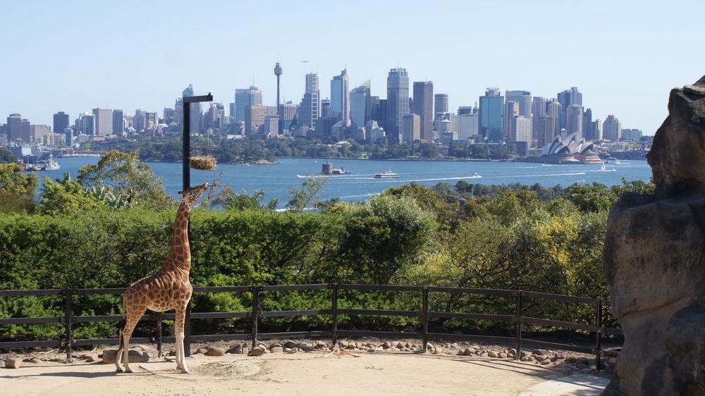 Australia CBD Giraffe Skyline Sydney, Australia Opera House Sydney Zoo Anymal Skyscraper