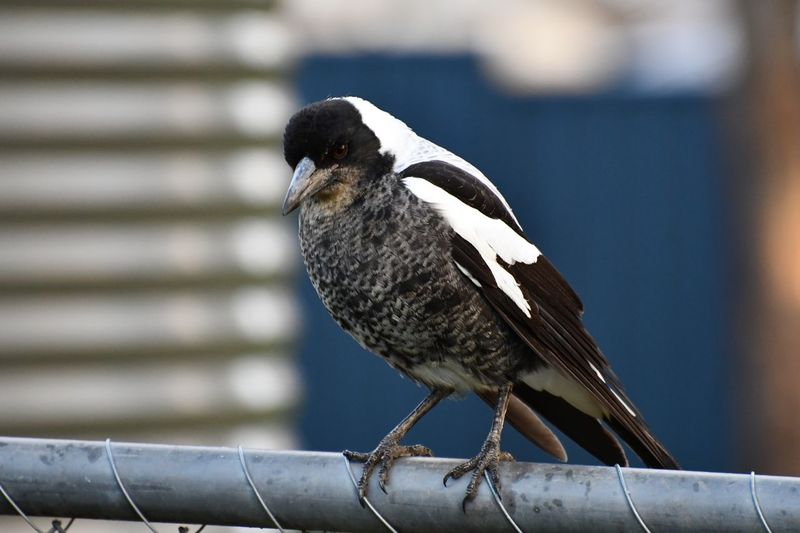 Juvenile Bird Magpie EyeEm Selects Bird Vertebrate Animal Wildlife Animals In The Wild One Animal Perching Zoology Metal Selective Focus Winter Nature Outdoors Day No People Full Length Close-up Focus On Foreground