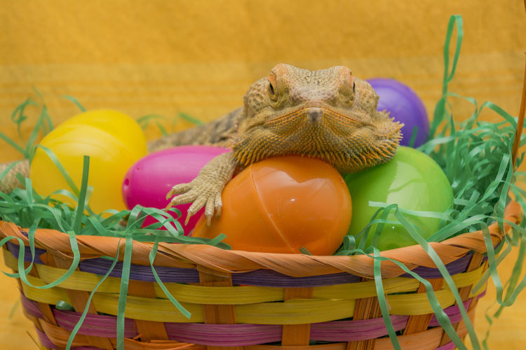 Basket Bearded Dragon Beardies Celebration Close-up Day Easter Easter Egg Egg Food Food And Drink Fragility Freshness Indoors  Lizard No People Reptile Ribbon Still Life Table Tradition Whicker Yellow Reptiles Reptile World reptile photography