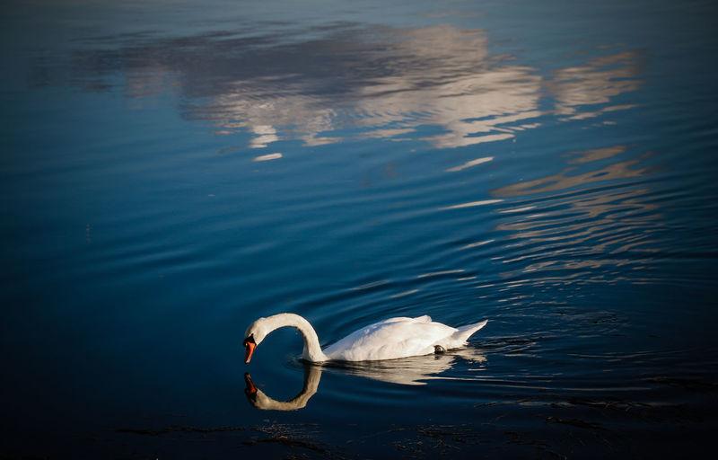 High angle view of swan swimming on lake