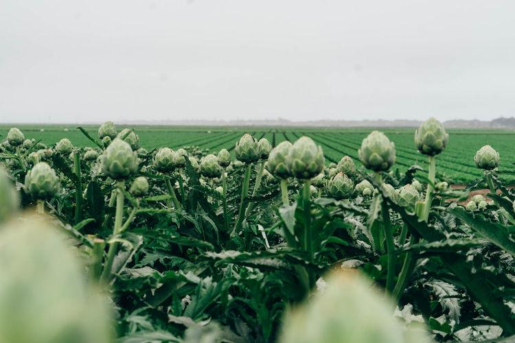 Artichoke plants growing at farm against sky