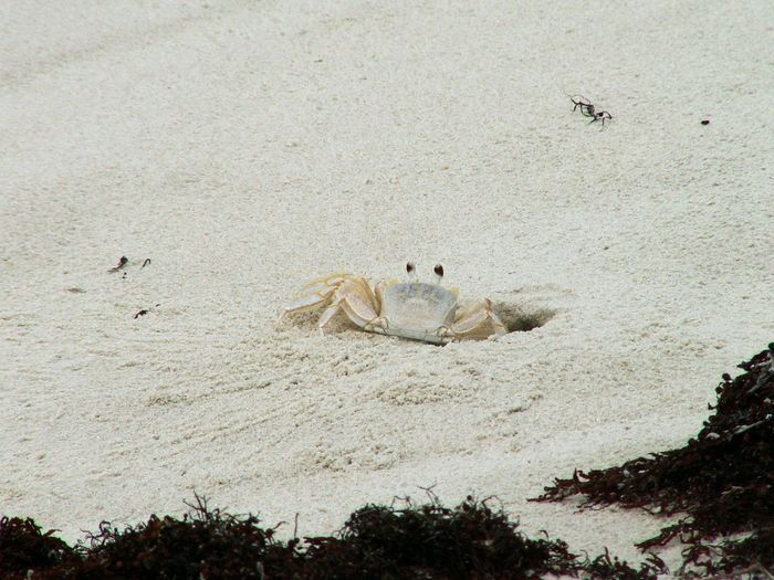 A sand crab cautiously peers out. Crab Peeking Out Sand Crab Animal Themes Animal Wildlife Animals In The Wild Beach Bird Burrowing Day Digging In Mammal Nature No People Outdoors