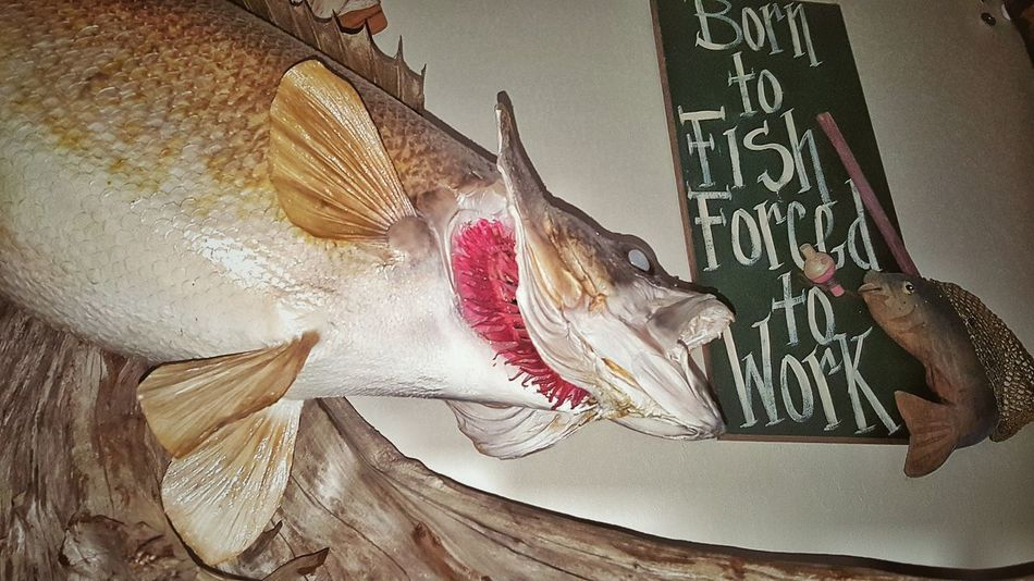 Showcase: February Walleye Fish Great Catch  Taxidermy Art Scary Things Hanging On The Wall Details Of A Predator Dont Touch I Bite Things In My House Something Smells Fishy To Me Eat Or Be Eaten