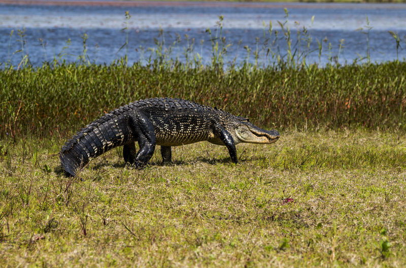 American alligator on field by lake