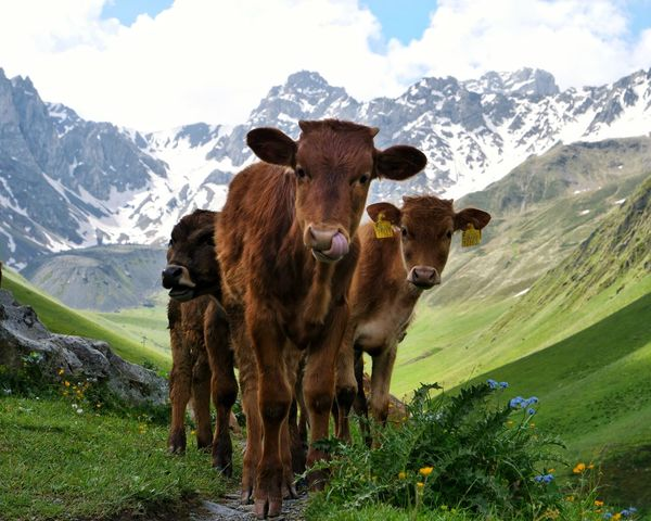 Juta Kazbegi Georgia Caucasus Mountains Calf Cows Blocking My Way Cattle Livestock Domestic Animals Mountain Range Rural Scene Nature Animal Themes Snow Landscapes Traveling Travel Breathing Space Pet Portraits Lost In The Landscape The Great Outdoors - 2018 EyeEm Awards
