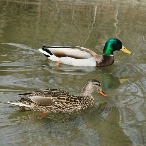 Duck Loonies Mates A male and female canadian loonies.