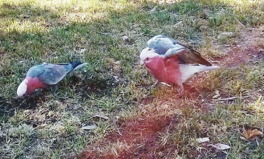 A couple of Galahs on my walk home. Birds Birdwatching Animals