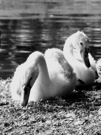 Italy❤️ Verona Animal Themes Swan Bird Lake Animals In The Wild Water Water Bird Beak Young Animal Young Bird Swimming One Animal No People Day Nature Close-up Cygnet Outdoors Babyswans Fresh On Eyeem  Peacefull Bird On The Shore Focus On Foreground