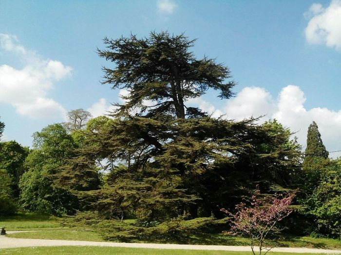 Tree Sky Cloud - Sky Nature Growth No People Outdoors Day Beauty In Nature Freshness Cedar Tree Man Made Garden