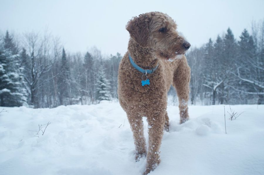 January 26, 2016 Animal Animal Hair Animal Themes Cold Cold Temperature Cute Dog Domestic Animals Duluth Full Length Fun Goldendoodle Mammal Minnesota One Animal Pet Collar Pets Relaxation Sitting Weather White White Color Winter