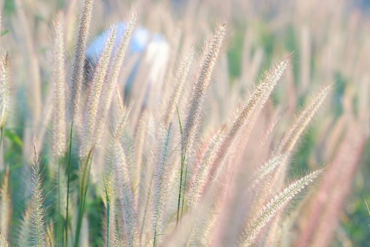 Wheat Cereal Plant Rural Scene Closing Backgrounds Agriculture Summer Field Full Frame Meadow Oat - Crop Barley Rye - Grain Wildflower Ear Of Wheat Blade Of Grass Uncultivated Cultivated Land Lush - Description Agricultural Field Patchwork Landscape Prickly Pear Cactus Oilseed Rape Dandelion Seed Poppy Combine Harvester Wiltshire Wholegrain Crop  Farm
