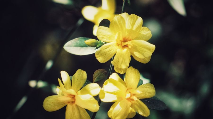 春花 Flower Yellow Flower Head Petal Beauty In Nature Freshness Close-up Fragility Nature Daffodil Growth Orchid Plant No People Outdoors Day Black Background Frangipani