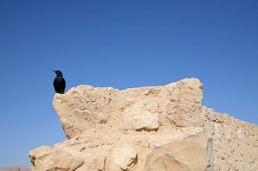 Bird in the Masada fortress in Israel Ancient Bird Dead Sea. Defense Desert Fortification Fortress History Israel Judea Masada Mountain Nature Palestine Rock Ruin Salt Salty Sea Stone Wall Wild