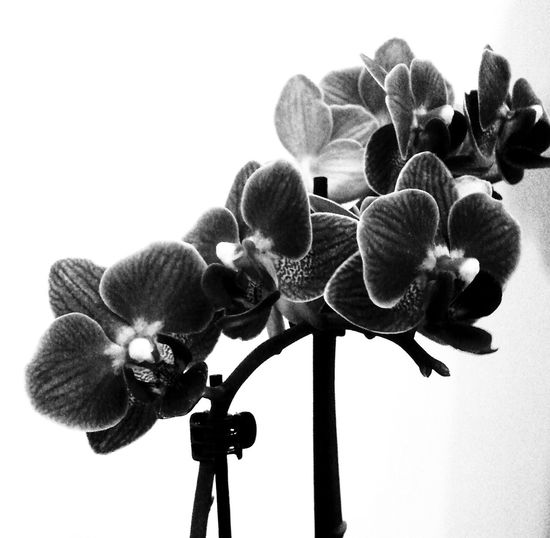Orchids Blackandwhite Eye4photography  Bw_collection Monochrome Flower Collection Light And Shadow Flowerporn EyeEm Nature Lover in Love ♥