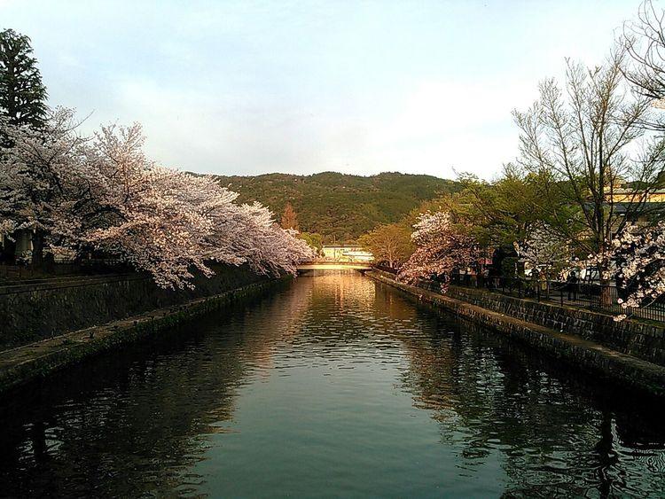 平安神宮南側大鳥居の下、慶流橋から疎水を東に望む。 京都 Kyoto 平安神宮 Heian Shrine Heian Jingu 琵琶湖疏水 慶流橋 Keiryuhashi 桜 桜並木 Cherry Blossom Cherry Blossoms