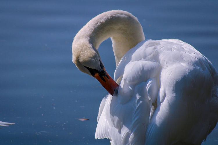 Swan in a lake