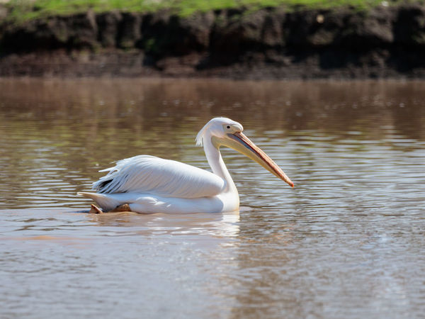 White pelican sails on the water on a sunny day and looks for food Ape Business Grass Ramat Gan - Tel Aviv Travel View Zoo Adaptation Animal Themes Animals In The Wild Attraction Biology Conservation Day Environment Israel Landscape Mammal Nature Population Predator Reserve Safari Scene Tourism