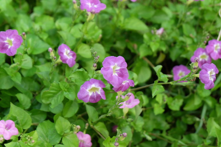Flowering Plant Flower Plant Freshness Growth Beauty In Nature Fragility Vulnerability  Petal Pink Color Close-up Leaf Plant Part Inflorescence Flower Head Green Color Nature No People Day Purple Outdoors