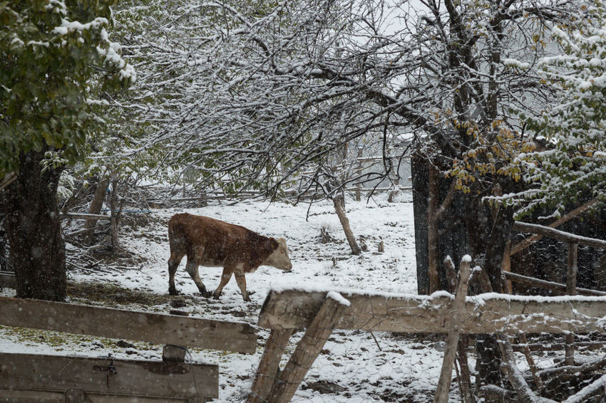 cow in the village of Sünnetköy in the Bolu mountains of Turkey Animals Bolu  Cow Day Farm Farm Animals Fence Field Livestock Mountains Outdoors Pasture Snow Sünnetköy Trees Turkey Village Village Life Walking