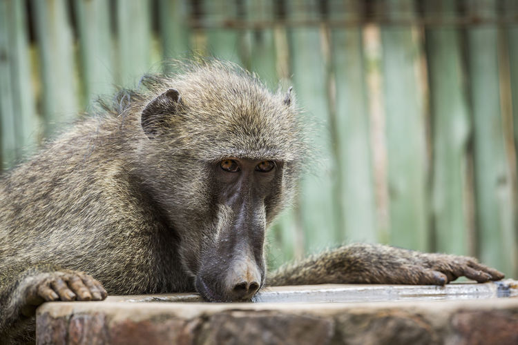 Close-up of baboon
