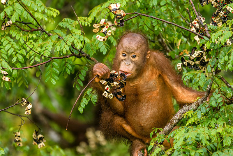 Orangutan Nature Rainforest Rainforest Discovery Center Young Eating Canopy Canopy Walk Conservation Animals In The Wild Animal Themes Young Animal Trees