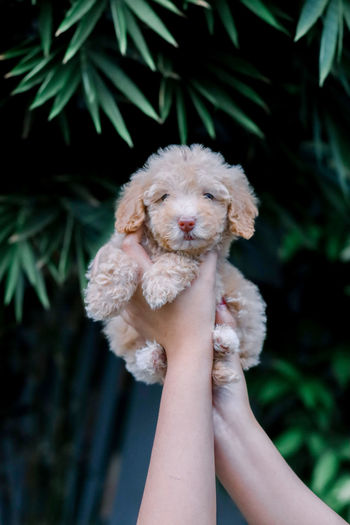 Cute curly poodle puppy
