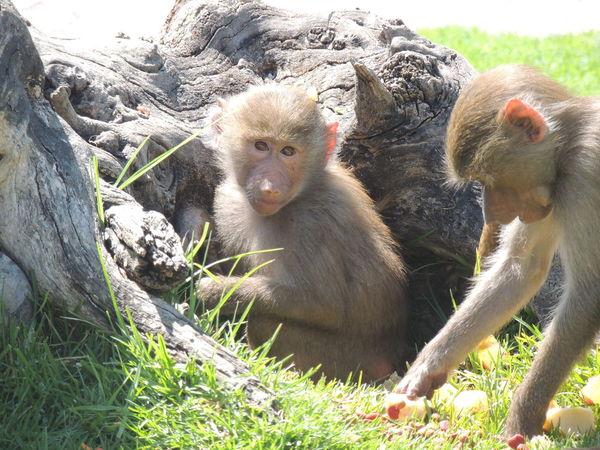 Crazy Animals  Love Animals Adorable Amazing Beautiful Animal Photography Monkey Face Monkey Eat More Fruit