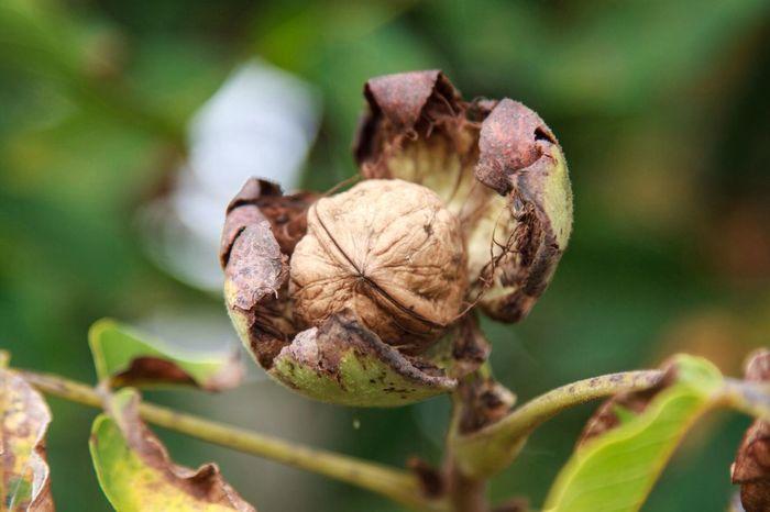 I am full ff nuts Walnut Walnuss Baranja Croatia