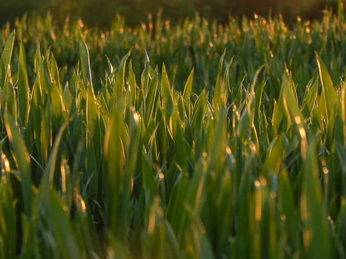 gras under the setting sun Backgrounds Beauty In Nature Blade Of Grass Close-up Field Focus On Foreground Full Frame Gras Under The Setting Sun Grass Grassy Green Green Color Growth Landscape Lush Foliage Nature No People Outdoors Plant Rural Scene Scenics Selective Focus Setting Sun Tranquil Scene Tranquility