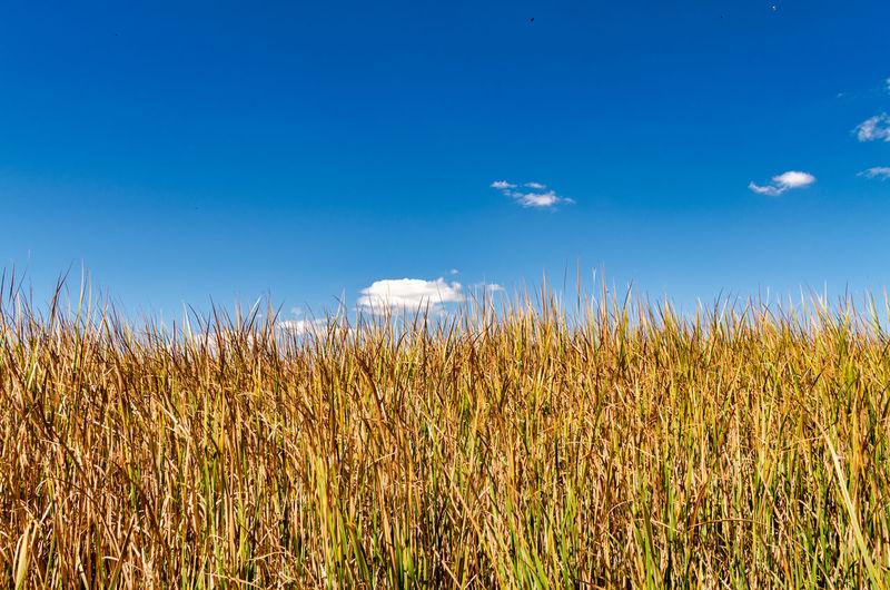 Crops growing on field against blue sky
