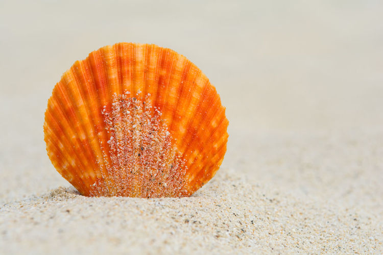 Orange scallop in the sand, close up Beautiful Freshness Natural Seashore Summertime Travel Vacations Beach Close-up Coast Detail Dune Marine Nature Orange Color Sand Scallop Sea Seashell Shell Simplicity Spa Summer Tropical Vibrant