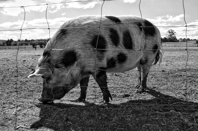 Pig Pig HOG
