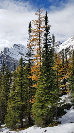 Lake Agnes Tree Snow Mountain Winter Cold Temperature Sky Cloud - Sky Mountain Range Pine Woodland Fir Tree Coniferous Tree Banff National Park  Pine Tree Needle - Plant Part Spruce Tree Evergreen Tree Pinaceae Treetop Glade Snowcapped Mountain Pine Cone Pine Wood Growing Tree Area WoodLand Forest Fire