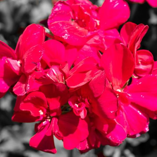 Close-up of fresh pink flowers with red petals