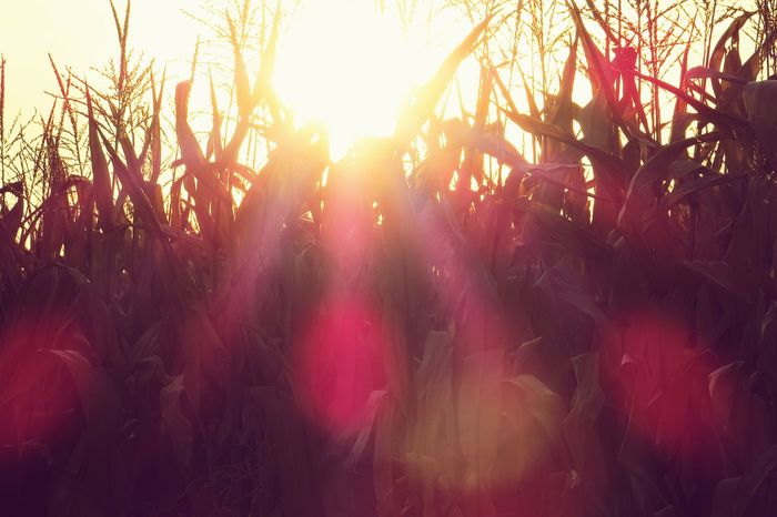 Sunset Sunset On The Farm Corn Field Sun Beams Country Life Fall Sunset Pattern Pieces Live For The Story