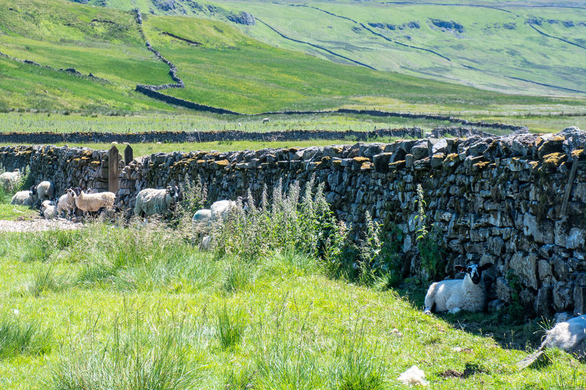 Sheep sheltering under dry stone wall in hot sun Dales Dry Stone Wall Dry Stone Shade Animal Grass Group Of Animals Landscape Livestock Sheep Sheltering Yorkshire Dales