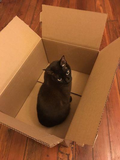 I help you pack One Animal Pets Animal Themes Domestic Animals Domestic Cat Mammal Feline No People Cat Cardboard Box Indoors  Box Cute Pet Burmese Cat Floor Hardwood Floor Brown