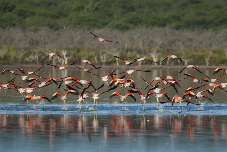 Flamingos, Patagonia, Argentina Animal Wildlife Water Animal Animal Themes Nature Day Outdoors Lake Flamingo Flamingos In Water Wildlife Photography Wildlife & Nature Bird Photography Birdwatching Lovely Rose Bir Colorful Life Colorful Birds Endangered Species Patagonia
