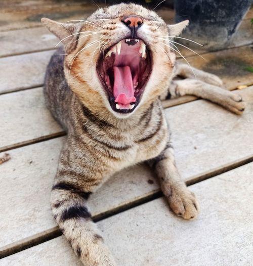 Pets Yawning