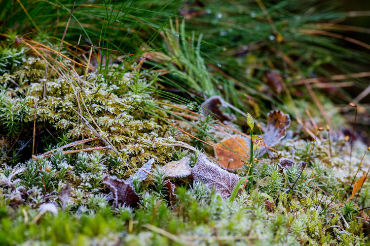Autumn Beauty In Nature Close-up Cold Forest Floor Frost Grass Growth Leaves Moss Nature Sweden