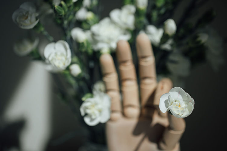 Close-up of hand holding white rose