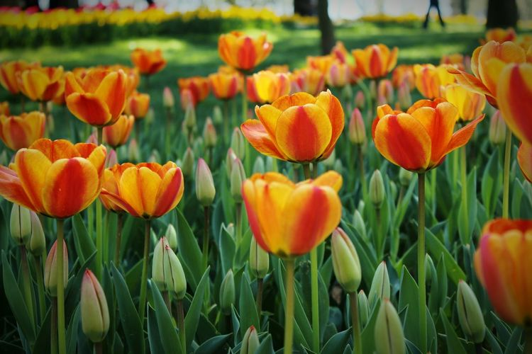 Close-up of orange tulips growing on field