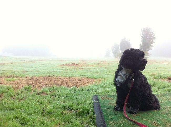 Morning mist. Céilí (pron. Kayleigh) the lovely Tsang Apso. Dog Animals IPSSpace