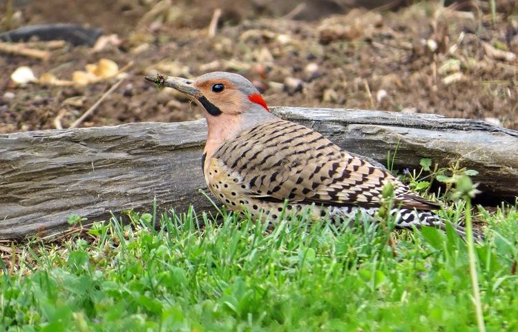 I never get tired of photographing these spectacular birds 😍 My Favorite Photo Check This Out Birdfreaks Woodpecker Nature_perfection Outdoors Nature Photography Mybackyard Nature On Your Doorstep Birdwatching CreativePhotographer Makesmesmile Spring2016 From My Point Of View Femalephotographerofthemonth Tadaa Community Bird Photography Birds Of EyeEm  Interesting Perspectives Naturelovers Birds_collection Mydeckview Nature_collection Bird Watching Feathers ❤️❤️