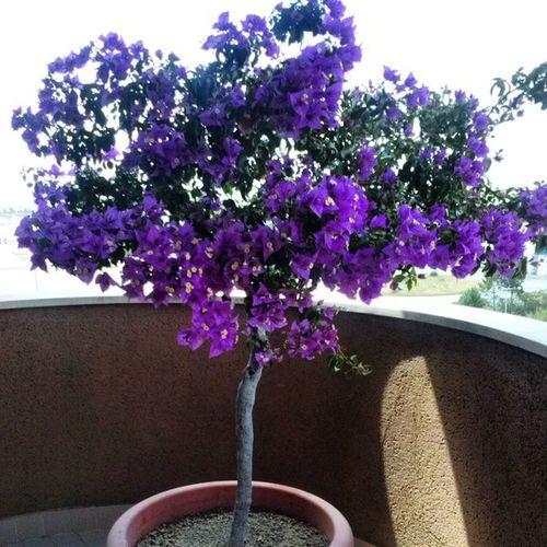 Tenho uma mini árvore na minha varanda e achei que hoje estava especialmente bonita Nature Beautiful Purple Minitree photography instapic instamoment instabeautiful