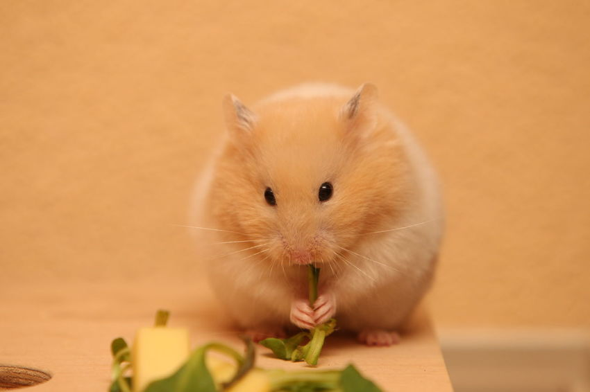 Hamster Love Hamsters Animal Animal Themes Animal Wildlife Close-up Domestic Domestic Animals Eating Focus On Foreground Food Hamster Indoors  Looking At Camera Mammal No People One Animal Pets Portrait Rodent Vertebrate Whisker Wood - Material