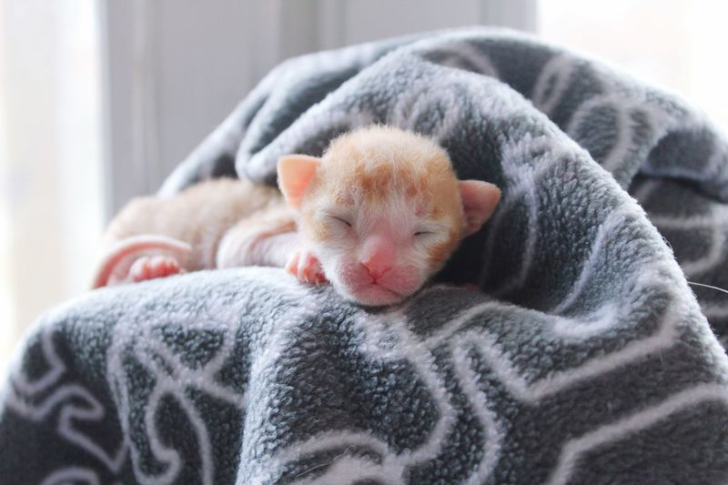 Cornish Rex cat : New born Zzz Ginger Cat Cornish Rex Kitten Cornish Rex Kattunge Kitten New Born Pets Animal Themes One Animal Eyes Closed  Domestic Animals Indoors  Mammal Sleeping Relaxation A New Beginning
