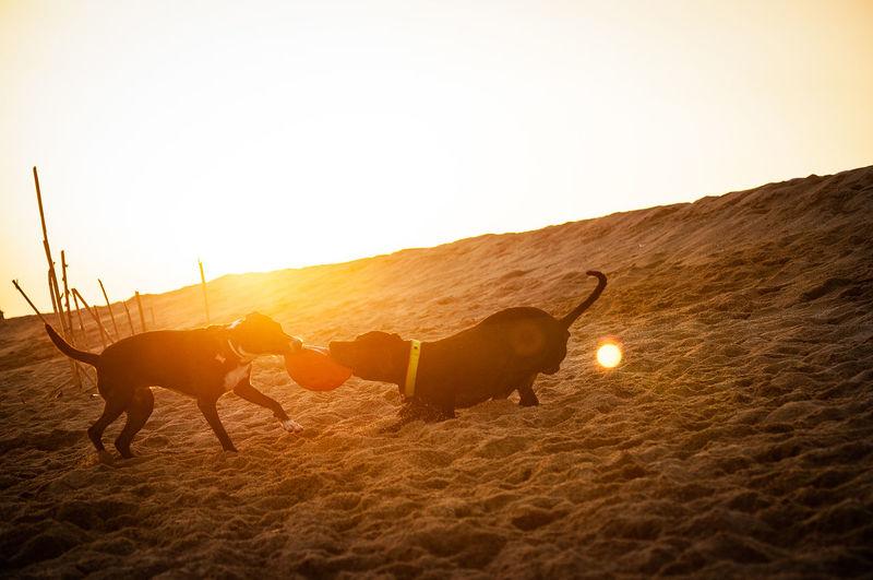 Tina & Stitch #beach #sunset #atardecer #dogs #weekend #instadogs #playa #momentos #moments #enjoy #ocata #masnou #catalunya Beach Dogs Atardecer Weekend Moments Catalunya Enjoy Ocata Masnou Playa Momentos Dog Playa Sunset Sand Dune Desert Sunset Sand Sky Livestock