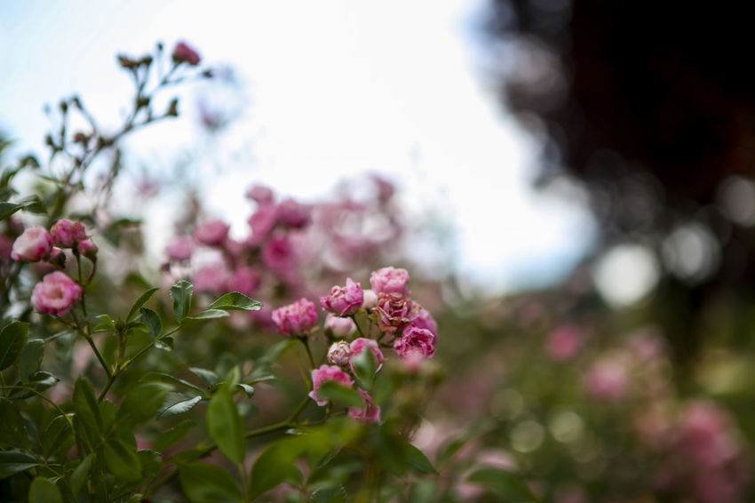 Beauty In Nature Blooming Blossom Botany Bud Close-up Day Flower Flower Head Focus On Foreground Fragility Freshness Growth In Bloom Nature No People Outdoors Petal Pink Color Plant Season  Selective Focus Stem Tree Twig